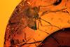 http://mczbase.mcz.harvard.edu/specimen_images/entomology/paleo/large/PALE-17934_Chironomidae.jpg