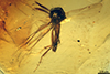 http://mczbase.mcz.harvard.edu/specimen_images/entomology/paleo/large/PALE-18037_Palaeobrachypogon_vetus_paratype.jpg
