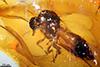 http://mczbase.mcz.harvard.edu/specimen_images/entomology/paleo/large/PALE-18040_Peronehelea_chrimikalydia_paratype.jpg