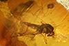http://mczbase.mcz.harvard.edu/specimen_images/entomology/paleo/large/PALE-18041_Peronehelea_chrimikalydia_paratype.jpg