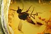 http://mczbase.mcz.harvard.edu/specimen_images/entomology/paleo/large/PALE-18060_Ceratopogonidae.jpg
