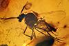 http://mczbase.mcz.harvard.edu/specimen_images/entomology/paleo/large/PALE-18062_Ceratopogonidae.jpg
