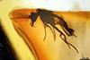 http://mczbase.mcz.harvard.edu/specimen_images/entomology/paleo/large/PALE-18064_Ceratopogonidae.jpg