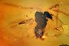 http://mczbase.mcz.harvard.edu/specimen_images/entomology/paleo/large/PALE-18073_Ceratopogonidae.jpg