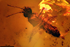 http://mczbase.mcz.harvard.edu/specimen_images/entomology/paleo/large/PALE-18075_Ceratopogonidae.jpg