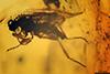 http://mczbase.mcz.harvard.edu/specimen_images/entomology/paleo/large/PALE-18079_Cretocordylomyia_sp.jpg