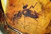 http://mczbase.mcz.harvard.edu/specimen_images/entomology/paleo/large/PALE-18094_Atriculicoides_globosus.jpg