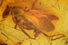 http://mczbase.mcz.harvard.edu/specimen_images/entomology/paleo/large/PALE-18112_Palaeomedeterus_sp.jpg