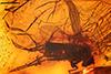 http://mczbase.mcz.harvard.edu/specimen_images/entomology/paleo/large/PALE-18123_Palaeomedeterus_sp.jpg