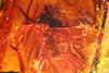 http://mczbase.mcz.harvard.edu/specimen_images/entomology/paleo/large/PALE-18124_Palaeomedeterus_sp.jpg