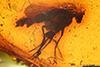 http://mczbase.mcz.harvard.edu/specimen_images/entomology/paleo/large/PALE-18127_Palaeomedeterus_sp.jpg