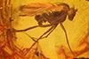 http://mczbase.mcz.harvard.edu/specimen_images/entomology/paleo/large/PALE-18128_Palaeomedeterus_sp.jpg