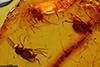 http://mczbase.mcz.harvard.edu/specimen_images/entomology/paleo/large/PALE-18130_Palaeomedeterus_sp.jpg