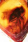 http://mczbase.mcz.harvard.edu/specimen_images/entomology/paleo/large/PALE-18138_Rhagionidae.jpg