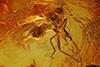http://mczbase.mcz.harvard.edu/specimen_images/entomology/paleo/large/PALE-18143_Empididae.jpg