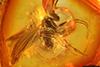 http://mczbase.mcz.harvard.edu/specimen_images/entomology/paleo/large/PALE-18158_Dolichopodidae.jpg