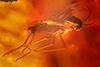 http://mczbase.mcz.harvard.edu/specimen_images/entomology/paleo/large/PALE-18179_syn2_Chironomidae.jpg
