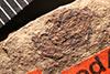 http://mczbase.mcz.harvard.edu/specimen_images/entomology/paleo/large/PALE-1817_Geralophus_repositus_type.jpg
