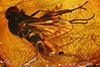 http://mczbase.mcz.harvard.edu/specimen_images/entomology/paleo/large/PALE-18180_Rhagionidae.jpg