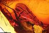 http://mczbase.mcz.harvard.edu/specimen_images/entomology/paleo/large/PALE-18182_Rhagionidae.jpg
