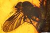 http://mczbase.mcz.harvard.edu/specimen_images/entomology/paleo/large/PALE-18183_Rhagionidae.jpg