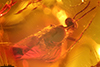 http://mczbase.mcz.harvard.edu/specimen_images/entomology/paleo/large/PALE-18186_Nematocera.jpg