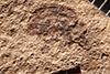 http://mczbase.mcz.harvard.edu/specimen_images/entomology/paleo/large/PALE-1818_Geralophus_repositus_type.jpg