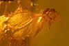 http://mczbase.mcz.harvard.edu/specimen_images/entomology/paleo/large/PALE-18201_Cecidomyiidae.jpg