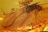http://mczbase.mcz.harvard.edu/specimen_images/entomology/paleo/large/PALE-18216_Cecidomyiidae.jpg