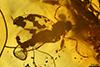 http://mczbase.mcz.harvard.edu/specimen_images/entomology/paleo/large/PALE-18221_Cecidomyiidae.jpg
