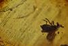 http://mczbase.mcz.harvard.edu/specimen_images/entomology/paleo/large/PALE-18223_Scatopsidae.jpg