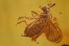 http://mczbase.mcz.harvard.edu/specimen_images/entomology/paleo/large/PALE-18223_syn1_Scatopsidae.jpg