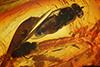 http://mczbase.mcz.harvard.edu/specimen_images/entomology/paleo/large/PALE-18226_Dolichopodidae.jpg