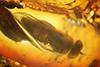 http://mczbase.mcz.harvard.edu/specimen_images/entomology/paleo/large/PALE-18226_syn1_Dolichopodidae.jpg