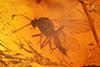http://mczbase.mcz.harvard.edu/specimen_images/entomology/paleo/large/PALE-18233_Chironomidae.jpg
