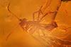 http://mczbase.mcz.harvard.edu/specimen_images/entomology/paleo/large/PALE-18236_Ceratopogonidae.jpg