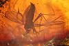 http://mczbase.mcz.harvard.edu/specimen_images/entomology/paleo/large/PALE-18240_Sciaridae.jpg