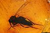 http://mczbase.mcz.harvard.edu/specimen_images/entomology/paleo/large/PALE-18242_Mycetobia_sp.jpg