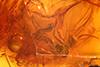 http://mczbase.mcz.harvard.edu/specimen_images/entomology/paleo/large/PALE-18244_Mycetobia_sp.jpg