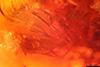 http://mczbase.mcz.harvard.edu/specimen_images/entomology/paleo/large/PALE-18248_Anisopodidae_2.jpg