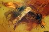 http://mczbase.mcz.harvard.edu/specimen_images/entomology/paleo/large/PALE-18251_Ceratopogonidae.jpg