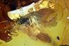 http://mczbase.mcz.harvard.edu/specimen_images/entomology/paleo/large/PALE-18251_syn2_Phoridae.jpg