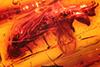 http://mczbase.mcz.harvard.edu/specimen_images/entomology/paleo/large/PALE-18252_Syrphidae.jpg