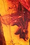 http://mczbase.mcz.harvard.edu/specimen_images/entomology/paleo/large/PALE-18252_syn2_Aculeata.jpg