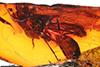 http://mczbase.mcz.harvard.edu/specimen_images/entomology/paleo/large/PALE-18253_Syrphidae.jpg