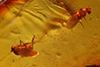 http://mczbase.mcz.harvard.edu/specimen_images/entomology/paleo/large/PALE-18258_Dolichopodidae.jpg