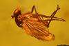 http://mczbase.mcz.harvard.edu/specimen_images/entomology/paleo/large/PALE-18258_syn1_Dolichopodidae.jpg