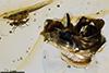 http://mczbase.mcz.harvard.edu/specimen_images/entomology/paleo/large/PALE-18260_Syrphidae.jpg