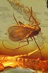http://mczbase.mcz.harvard.edu/specimen_images/entomology/paleo/large/PALE-18267_Sciaridae.jpg