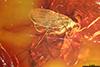 http://mczbase.mcz.harvard.edu/specimen_images/entomology/paleo/large/PALE-18268_syn1_Mycetophilidae.jpg
